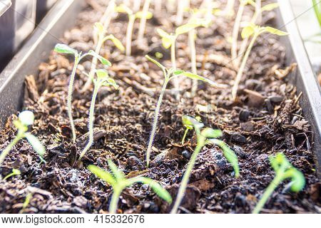 Tomato Seedlings In Potting Mix Grow Indoors With Additional Artificial Lighting. Expects Favorable