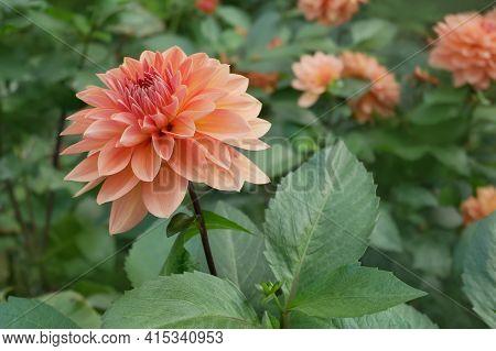 Beautiful Dahlia (georgina) Of Terracotta Color Flowering In The Flowerbed In Autumn Season