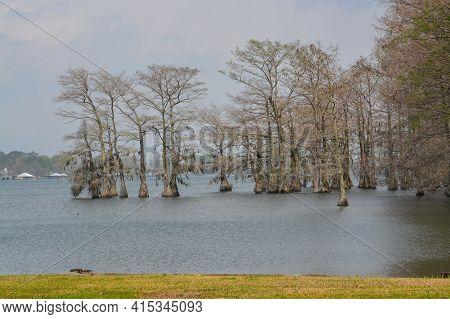 Moss Draped Cypress Trees In Lake Bruin On The Mississippi River At St Joseph, Tensas Parish, Louisi
