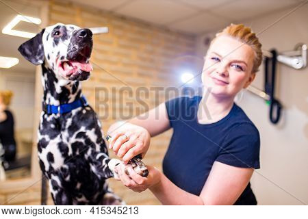 Young Woman Cutting Dog Dalmatian Nail With Specialty Tool