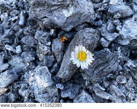 Lone Flower Among Burnt Coal - Sign Of Hope, Faith, Better Future Concept