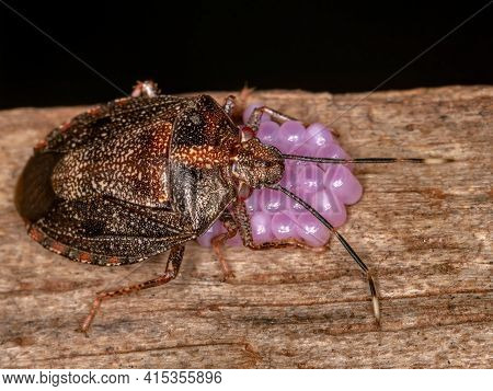 Adult Female Stink Bug