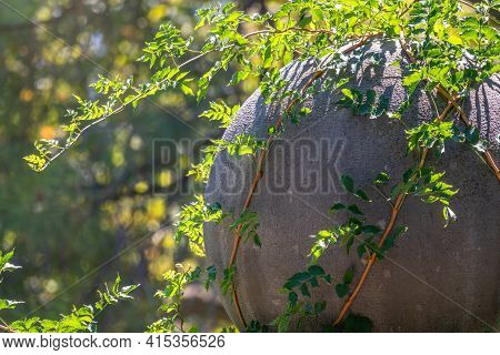 Green Creeper Plant Growing On A Rock Wall. Old Stone Wall With Creeping Plants