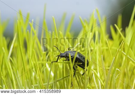 Black Cockroach Living On Green Grass Meadow Ecosystem, Animal Insects Wildlife