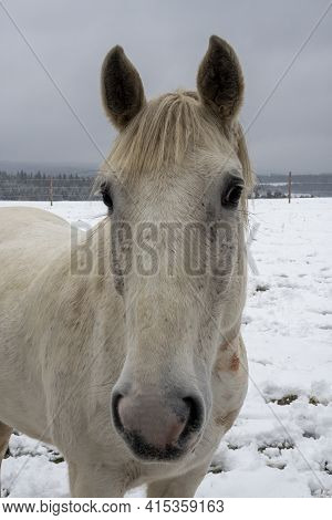 The Horse (equus Ferus Caballus) Is A Domesticated Odd-toed Ungulate Mammal. , An Intresting Photo