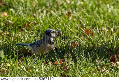 A Blue Jay Bird (cyanocitta Cristata) With Gray Feather And Blue Tail Is Standing Among Grass With A