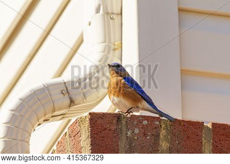 An Adult, Male Sialia Sialis (eastern Bluebird) Is Perching On A Brick On The Side Of A House With R