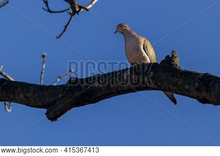 A Mourning Dove (zenaida Macroura) Perching On A Tree Branch Against Blue Sky. It Looks Down From Th