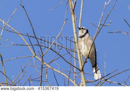Frontal View Of A Female Blue Jay (cyanocitta Cristata) Perching On A Leafless Tree Branch In Winter