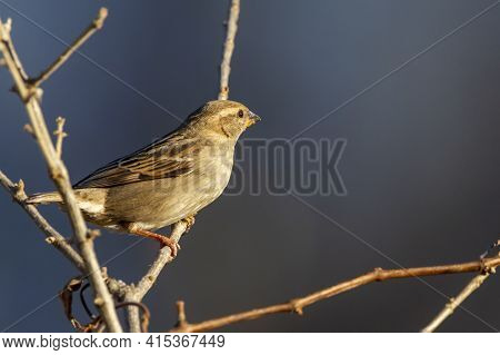 A Female House Finch ( Haemorhous Mexicanus ) Is Perching On A Leafless Bush During Winter. This Bir