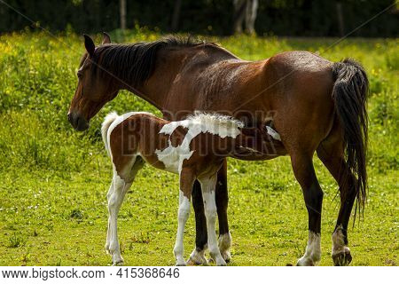 A Dark Brown Mother Horse And Her Brown Spotted Newborn Male Foal Are Seen Isolated On A Grassland.