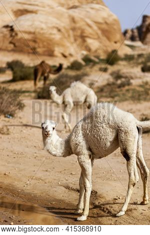 Three Dromedary Camels In Petra. Image Features Unique Stone Formations Arid Landscape, Two White Ca