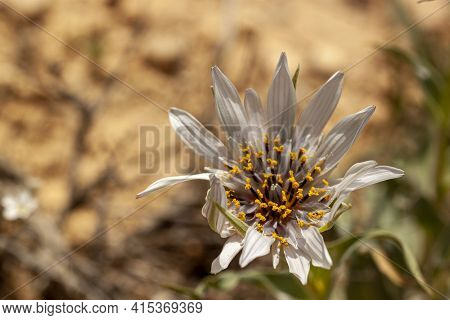 A Large Wild Composite Flower Of Asteracea Family. Aster Flower Has White Daisy Like Petals Y Shaped