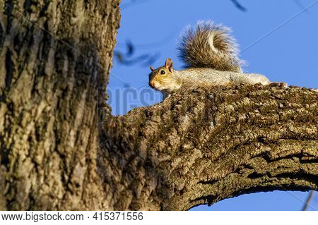 An Eastern Gray Squirrel (sciurus Carolinensis) Is Lying On A Thick Branch Of A Tree And Looking Dow