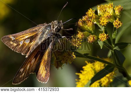 Close Up Isolated Macro Image Of A Male  Atalopedes Campestris (sachem) Butterfly On Yellow Flower.