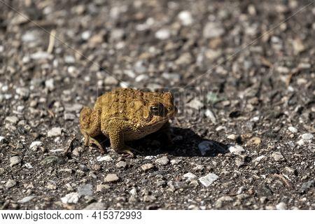 Image Of An Eastern American Toad (anaxyrus Americanus Americanus) A Native Amphibian Found In Easte