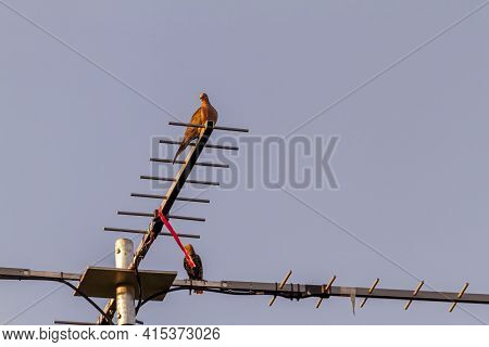 A Street Pigeon (columba Livia) Is Perching On A Retro Style T Shaped Television Antenna That Is Mou