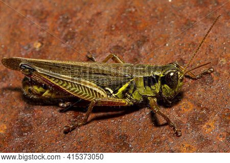 A Close Up Macro Lens Image Of A Red Legged Grasshopper (melanoplus Femurrubrum) On A Rusty Metal.