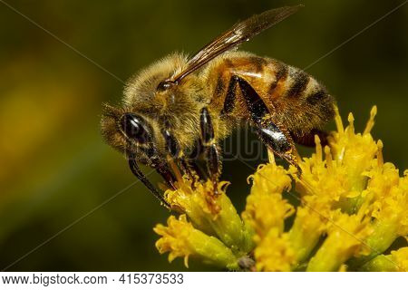 Close Up Isolated Image Of A Honey Bee Walking Over A Yellow Late Goldenrod Flower Sucking Nectar Fr
