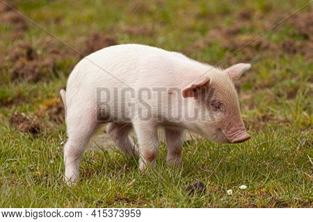 Close Up Image Of A Cute Pink Piglet Grazing On A Meadow. This Is An Isolated Image Showing The Pret