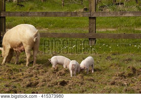 A Female Hog With Her Piglets Grazing In A Pasture. Hog Has Big Breasts As It Breastfeeds The Babies
