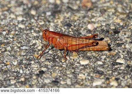 Close Up Macro Lens Image Of A Carolina Locust (dissosteira Carolina) Standing On Stone Ground. This