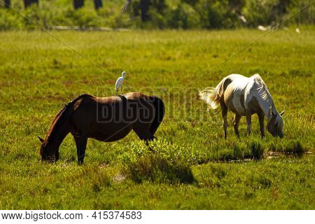 Close Up Isolated Image Of A Dark Brown And A White Wild Horse Grazing On A Grassland On Assateague