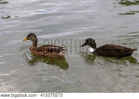 Close Up Isolated Image Of Two Dabbling Ducks: A Female Mallard In The Front And A Male Crossbreed O