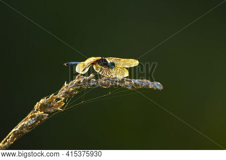 A Little Blue Dragonlet (erythrodiplax Minuscula) Dragonfly Is Standing On Top Of A Wild Wheat Tasse