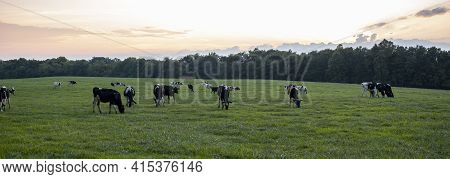 A Sunset, Sunrise Panorama Of A Pasture Where A Herd Of Holstein Cattle Are Grazing Freely On The Gr