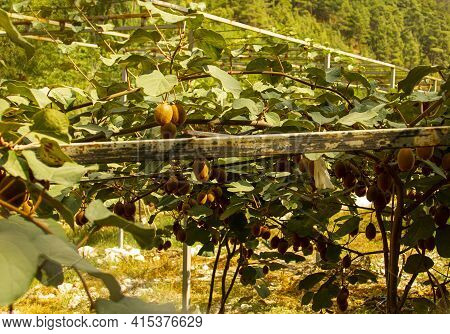 A Close Up View Of A Kiwi Fruit Plantation Where The Kiwi Plant Grows On A Unique Agricultural Syste