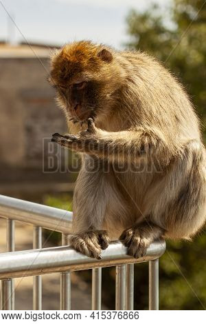 A Curious Barbary Macaque Looking At His Hand While Sitting On Railings. These Apes Roam Freely Arou