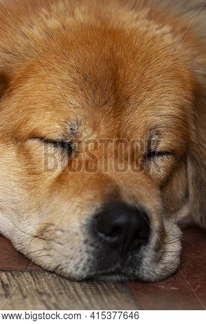 Close Up Image Of The Face Of A Golden Retriever Dog As It Sleeps With The Face On The Concrete Floo