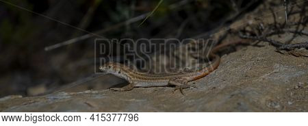 A Close Up Image Of A Fringe-fingered Lizard (acanthodactylus Schreiberi ), An Endangered Animal End
