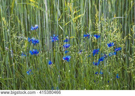 Flowering Blue Cornflowers In A Summer Landscape. Grain Field With Blue Cornflowers. Useful Medicina