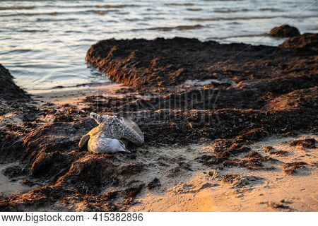 Dead Seagull Washed Up On The Sea Shore At Sunset. Dead Sea Bird Laying On The Sand At Coastline. Wa