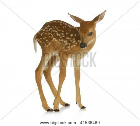 fawn - white-tail standing isolated on white background