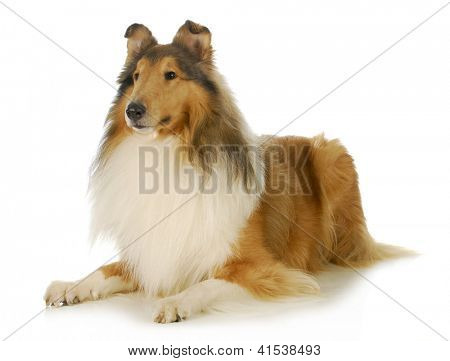 collie - rough coated collie laying down isolated on white background poster