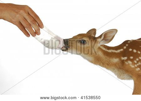 orphaned fawn - bottled feeding baby fawn - 3 days old - whitetailed doeling poster