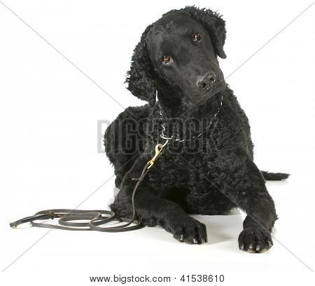curly coated retriever on a leather leash and choke collar isolated on white background poster