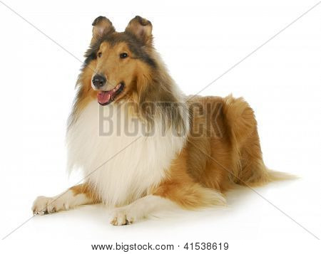 collie - rough coated collie laying down with tongue out panting isolated on white background poster