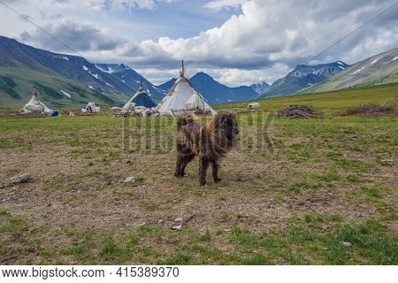 Reindeer Husky Against The Background Of A Reindeer Herders Camp On A Cloudy August Day. Yamal, Russ