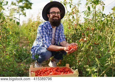 Young Farmer Gathering Tomatoes In His Garden. He Wears A Black Hat, Glasses While Seating Near A Pl