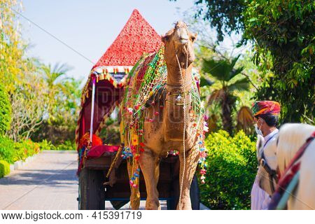 Colorfully Decorated Regal Camel Decked In Colorful Tie And Dye Cloth, Loops And Bridle Standing Maj