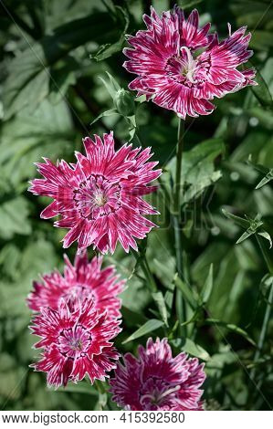 Beautiful Vibrant Dianthus Chinensis (rainbow Pink Or China Pink Flowers). Pink And White Flowers On