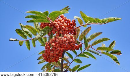 Rowan Branch With Bright Orange Berries On A Blue Sky Background  (mountain Ash Rowan Tree Or Sorbus