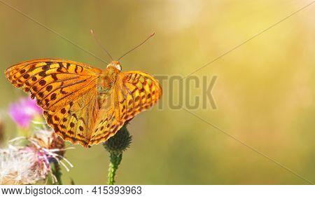 The Cardinal Butterfly, Argynnis Pandora, On A Thistle Flower