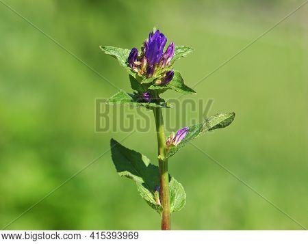 Purple Flower Of Clustered Bellflower, Campanula Glomerata