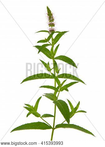 Horse Mint Blooming Plant Isolated On White