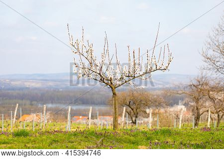 Apricot Tree With Blossoms In The Natural Garden During Early Spring. Beautiful Nature In March And